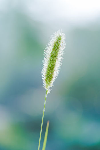 Green bristlegrass Blade Of Grass Flowers And Trees Fuzzy Gramineae Grass Green Natural Plant Angiosperms Door Backgrounds Beauty In Nature Blossom Close-up Day Fluffy Focus On Foreground Foxtail Fragility Grass Green Bristlegrass Green Color Growth Leaves Long Hair Long Handle Millet Subfamily Nature No People Outdoors Plant Plant Community Stems Tranquility Vegetation Weeds Wild