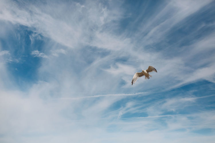 Animal Themes Beauty In Nature Blue Carefree Cloud - Sky Day Flying Low Angle View Mid-air Nature Outdoors Scenics SEAGULL IN FLIGHT Seagulls Sky Tranquil Scene Tranquility