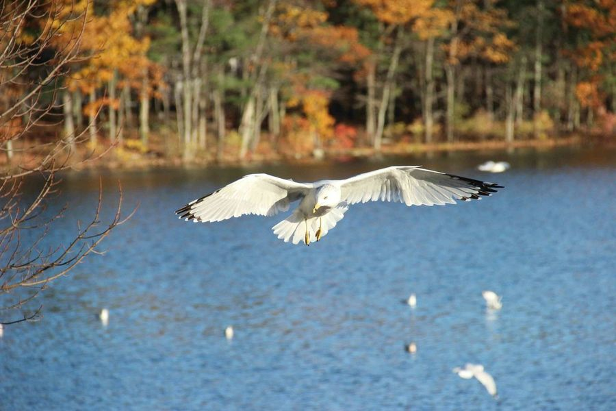 Autumn Massachusetts Bird Flying Autumn Colors Lake Animals Lake View Animal Themes Nature_collection Animal_collection Lakeview Bird Photography Birds In Flight Autumn Collection Autumn Colours Autumnday