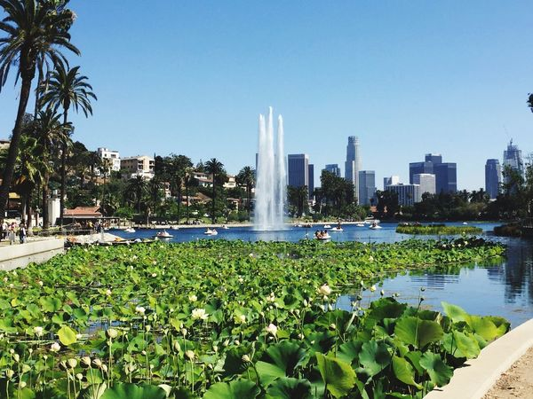 Lotusfestival Echo Park  Downtownintheback Lotus Flower Losangeles California