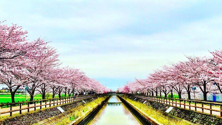 Japan 日本 Cherry Blossoms Cherry Blossom Cherryblossom Aichi 桜 Spring 愛知