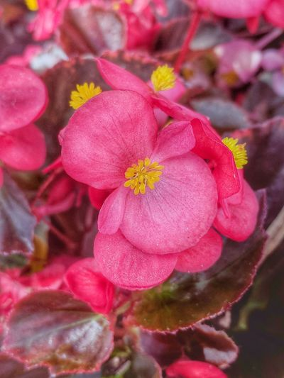 Garden Flower Head Flower Red Pink Color Petal Close-up Plant In Bloom Blooming Pollen Plant Life Blossom Flowering Plant Botany Poppy Bud Wild Rose