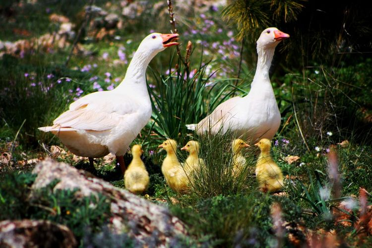 Oca Nature Natura Duckfamily Family EyeEm Selects Bird Close-up Water Bird