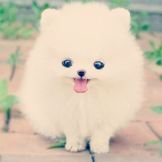 Omg! What is this! Its sooooooo freaking cute! White Dog Cute Tongueout adorable fluffy