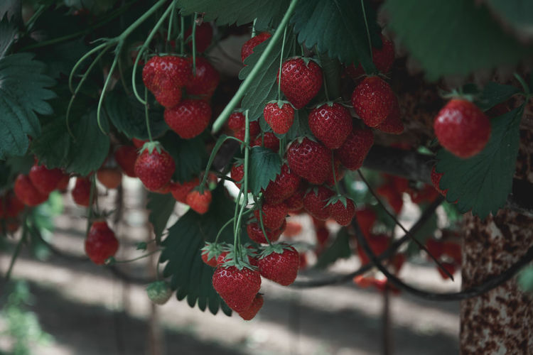 Red Colo Red Color Red Nature Berry Fruit Close-up Day Focus On Foreground Food Food And Drink Freshness Fruit Growth Hanging Healthy Eating Leaf No People Outdoors Plant Plant Part Red Ripe Strawberry Tree Wellbeing