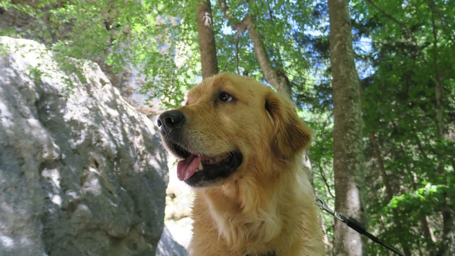 Animal Themes Beauty In Nature Close-up Day Dog Domestic Animals Forest Golden Retriever Mammal Nature No People One Animal Outdoors Pets Sky Tree Tree Trunk Pet Portraits Perspectives On Nature