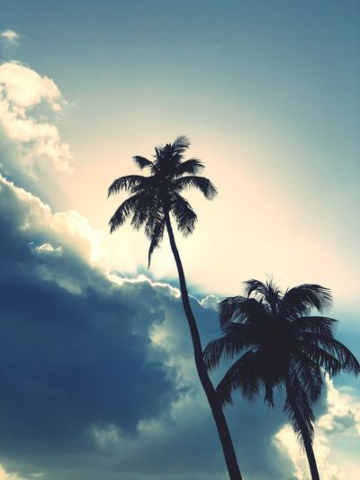 Sky Plant Palm