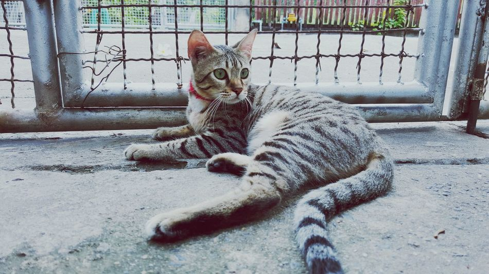Bengal Cat Cat Lovers Cat Bengal Cat Lover Alone Time Alone Kitten Kitty Kittens Of Eyeem Girl Mammal Fur Tiger Looking Waiting For Someone Indoors  Model Catsofinstagram Cat♡ Catoftheday Caturday Cat Watching Sunlight Fences Door Pet Portraits