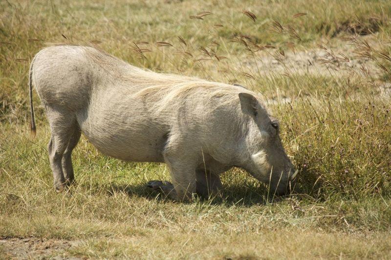 Animal Animal Themes Animals In The Wild Day Eating Mammal Mud Bath No People One Animal Side View Warthog Whitewashed Wildlife