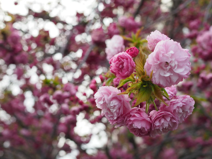 Flowering Plant Flower Plant Pink Color Freshness Beauty In Nature Fragility Growth Vulnerability  Close-up Petal Blossom Nature Inflorescence Tree Flower Head No People Botany Day Branch Springtime Cherry Blossom Outdoors Cherry Tree Pollen