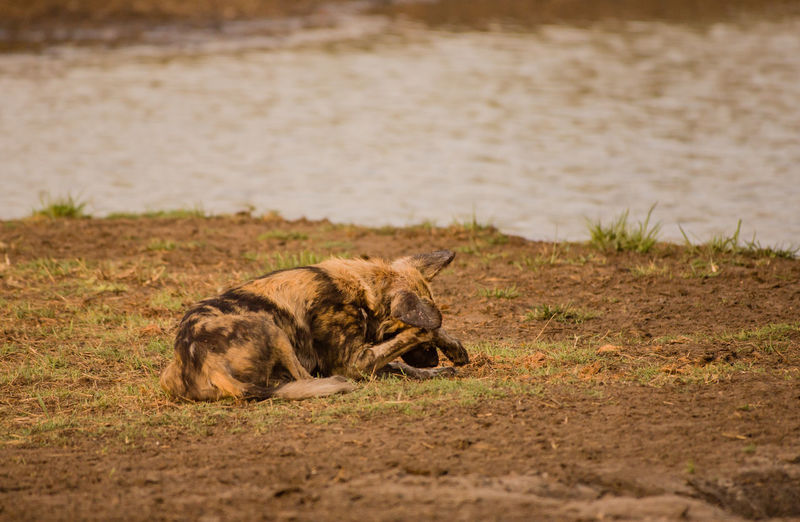 Wild Dog Resting On Field By Lake