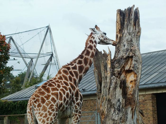 Giraffe Animal