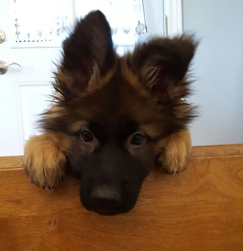 i wanna go downstairs!! Puppy German Shepherd Peeking Animals Cute Pets Adorable GSD Dog Love Gsdpuppy