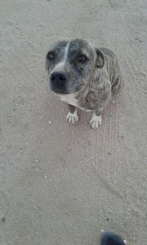 Tattoo Lou Pitbull♥ Brindle Pitbull Dog One Animal Animal Themes Pets Sand Domestic Animals High Angle View