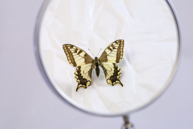 High angle view of butterfly on white flower