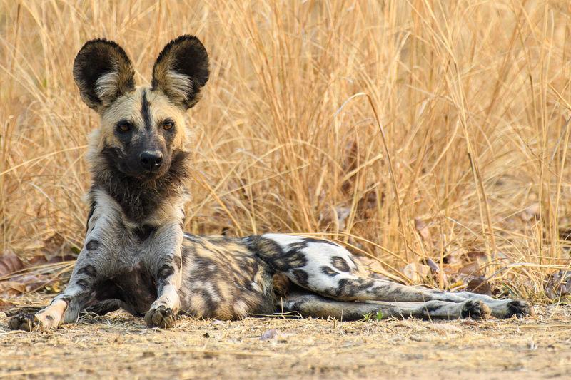 Wild dog looking