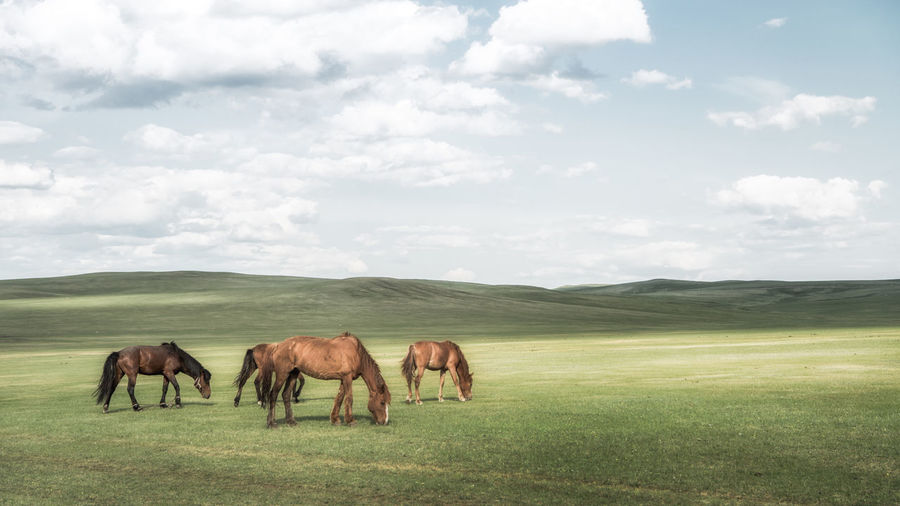 horses on the grassland Ranch Life Taking Photos Animal Animal Wildlife Awesome Beauty In Nature Cloud - Sky Domestic Domestic Animals Enjoying Life Environment Field Grass Horse Land Landscape Lifestyles Livestock Mammal Nature Outdoors Sky Travel Destinations