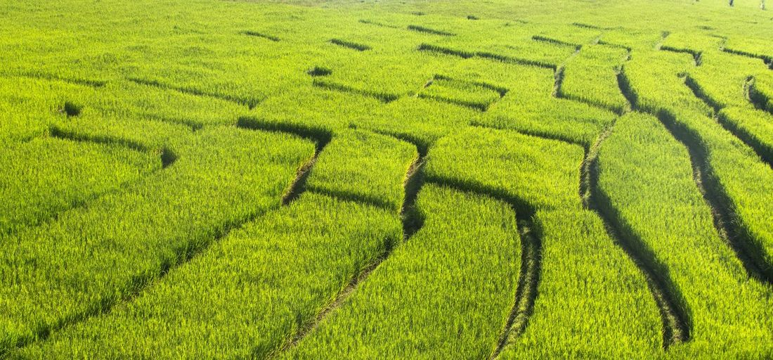 Scenic view of green agricultural field
