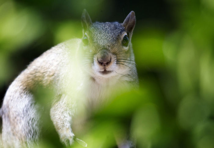 Behind the bushes Behind The Bushes Out Of Focus Squirrel Animal Wildlife Animals In The Wild Camouflage Cute Greenery Herbivorous Hiding Mammal Nature One Animal Outdoors Rodent Squirrel Closeup Whisker