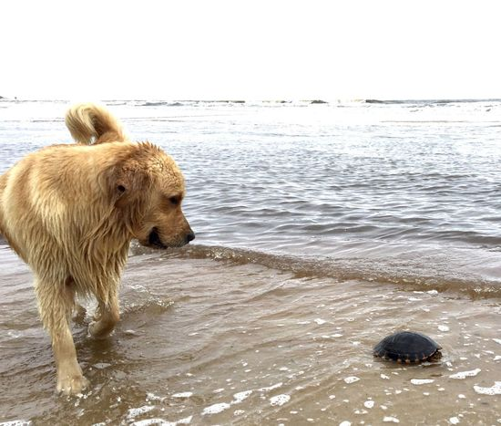 Animal Themes Dog Water Domestic Animals Wild Animal Sea Beach Nature Ocean Animal Behavior Turtle 🐢 Goldenretriever Dogslife Dogs Nature Photography Sea And Sky Uruguay Sand & Sea Beauty In Nature Coastline Nature