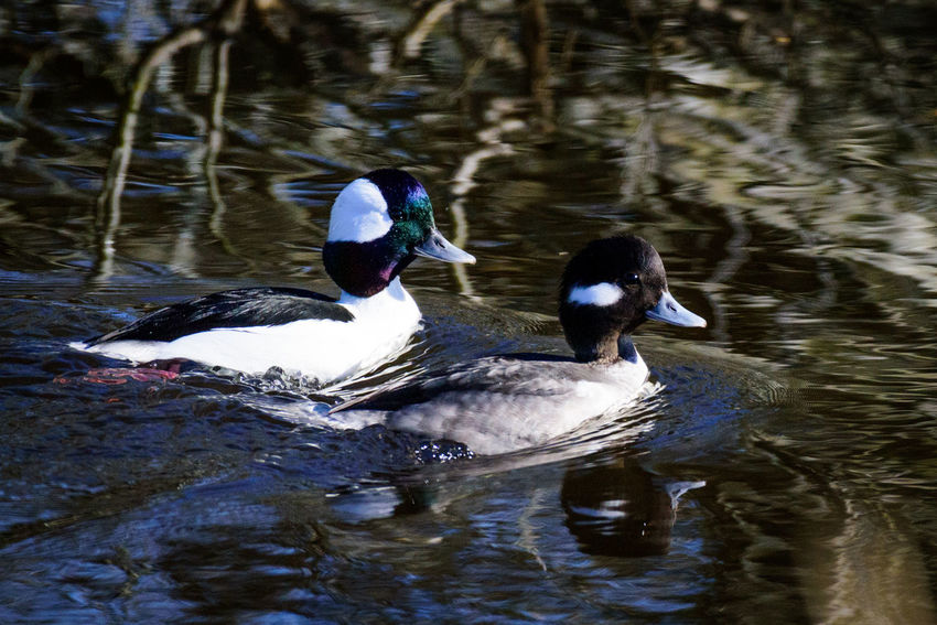 Male and female bufflehead ducks swim Animal Themes Animal Wildlife Animals In The Wild Beauty In Nature Bird Bufflehead Bufflehead Duck Day Duck Floating In Water Lake Male And Female Nature No People Outdoors Reflection Swim Swimming Water Water Bird Waterfront