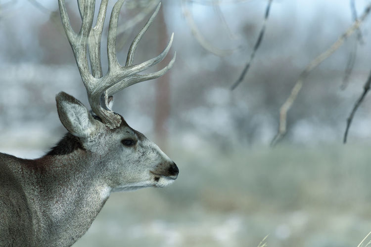 Young male mule deer on a sunny winter day near Denver, Colorado Animal Themes One Animal Animal Mammal Animals In The Wild Animal Wildlife Deer Tree Vertebrate Focus On Foreground Day Nature No People Plant Side View Looking Antler Close-up Outdoors Herbivorous Animal Head  Profile View