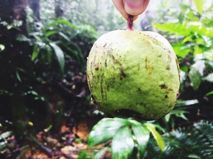 Wild guava Close-up Plant Growth Tree No People Focus On Foreground Nature Fruit Green Color Day Christmas Ornament Freshness Christmas Food Food And Drink Wellbeing Healthy Eating Hanging Outdoors
