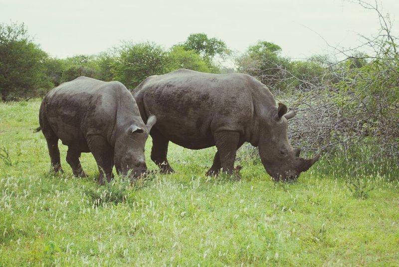 Krugernationalpark Rhinoceros Rhino Nature Beautiful