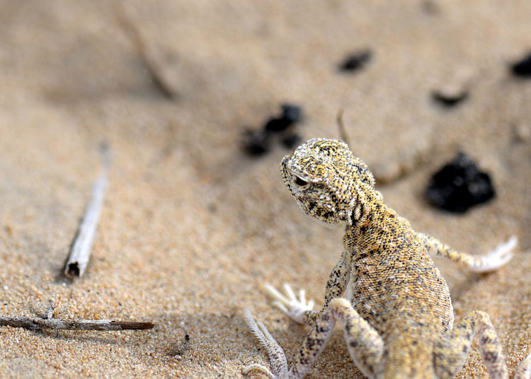 Toad Headed Agama Lizard at the Dubai Desert Conservation Reserve Agama Agama Lizards Animal Themes Animal Wildlife Animals In The Wild Beach Close-up Day Dubai Dubai Desert Dubai Desert Conservation Reserve Lizard Nature No People One Animal Outdoors Sand UAE