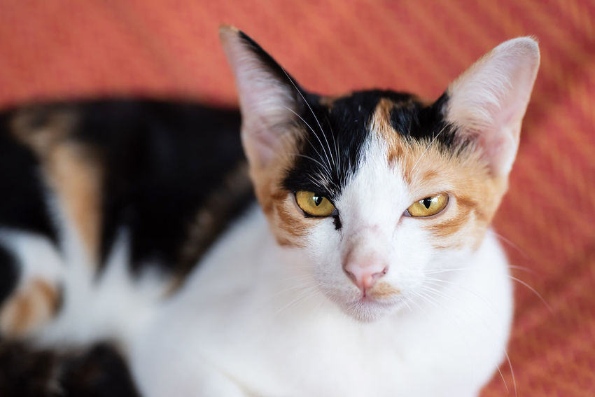 Tricolor cat Cute Cat Cute Pets Kitty Thai Cat Animal Body Part Animal Eye Cat Cat Face Close-up Domestic Domestic Animals Domestic Cat Feline Kitten Looking At Camera Mammal One Animal Pets Portrait Tricolor Cat Whisker Yellow Eyes