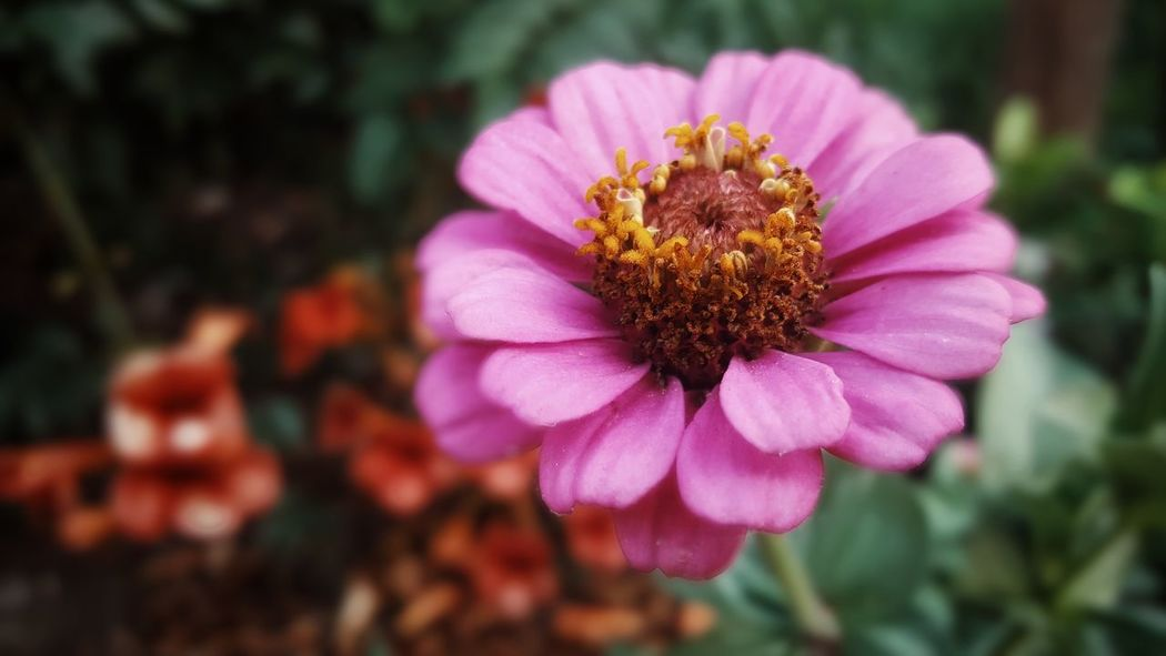 Zinnia Garden Pink Color Pink Flower Pink Zinnia Garden Flower Flower Head Zinnia  Flower Botanical Garden Pink Color Petal Pollen Close-up Plant In Bloom Blossom Blooming Botany Plant Life Flowering Plant