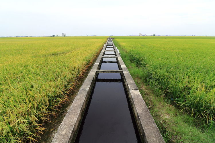 irrigation canal through the padi field Agriculture Photography Cereal Field Cereal Plant Clear Sky Creativity Farm Fresh Fresh Green Growth Irrigation Ditch Landscape Nature Outdoors Paddy Field Padi Field Plants Water