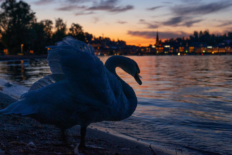 Close-up of swan in lake against sky during sunset