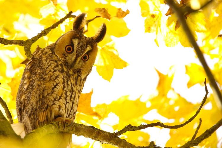 Animal Themes Animal Wildlife Animals In The Wild Asio Otus Bird Bird Of Prey Long Eared Owl Owl Ransuil Ransuil. Long Eared Owl UIL