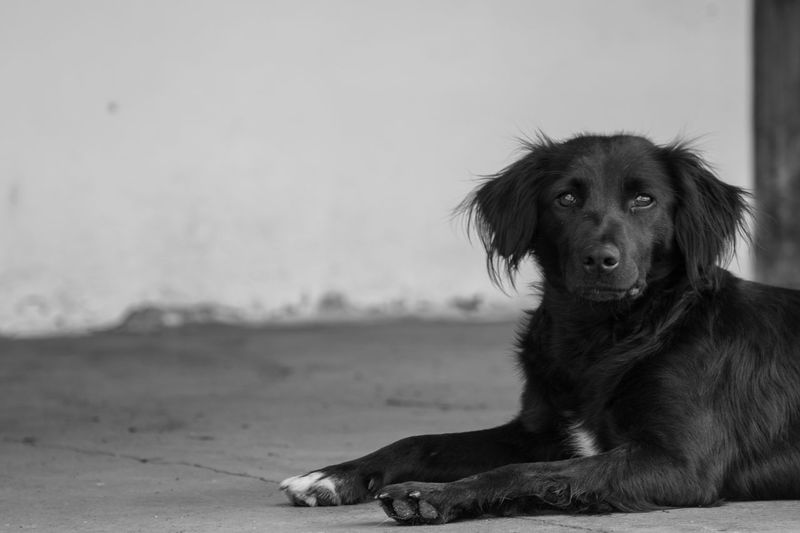 black dog Dog Black Dog Monochrome Looking At Camera Animal Long Hair Dog Pets Portrait Dog Protruding Sitting Puppy Canine