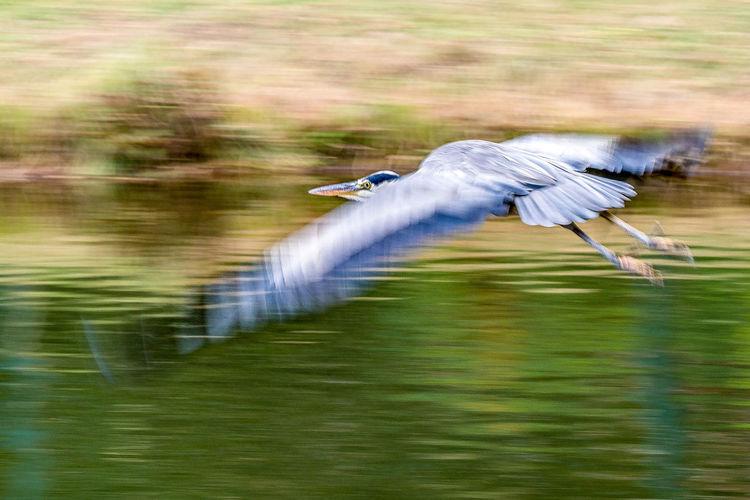 heron Animal