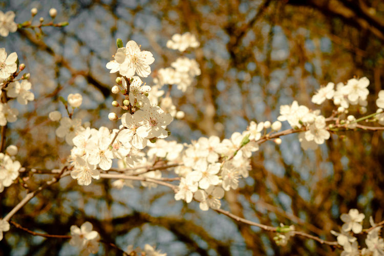 Parisien spring blossoms Plant Flowering Plant Flower Fragility Tree Vulnerability  Beauty In Nature Growth Blossom Freshness Nature Springtime Branch Close-up Focus On Foreground White Color Day No People Cherry Blossom Sunlight Outdoors Flower Head Cherry Tree Paris France Europe Bud White Spring Fresh