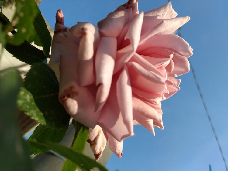 pink rose 🌹 Rose - Flower Roses Rose Petals Pink Flower Pink Rose Pink Rose Flower Pink Roses Close-up Pink Rosebud Pink Rose Petals EyeEm Selects Flower Blue Sky Close-up Blooming Flower Head Single Flower Single Rose Petal In Bloom Pink