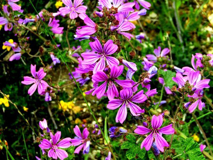 Wild Mallow Nature On Your Doorstep Nature Summer Memories 🌄 Wildflowers Wildlife Photography Coastalwalk