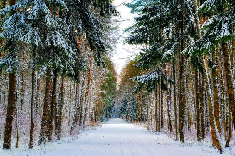 Tree Plant Cold Temperature Snow Winter Growth Nature No People Beauty In Nature The Way Forward Land Direction Day Covering Tranquility Scenics - Nature Outdoors Diminishing Perspective Footpath Treelined