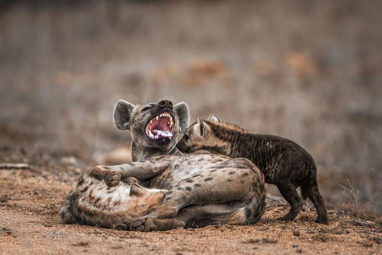 Close-up of hyenas on land