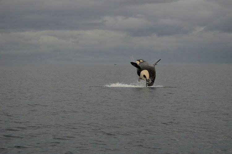 No. 23 shot the 6th August 2016 at 16:56h with the Nikon d3200 and the 18-105mm f/5.6 lens. (ISO 100 | f/7.1 | 1/500) Photo shot in JPEG. Clouds And Water Killerwhale Jumpshot SplashesOfWaters Blackandwhite Showing Off Playing Whalewatching  Sea