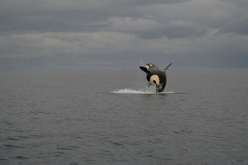 Killer whale jumping in sea against sky