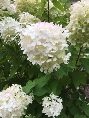 Flower White Color Growth Fragility Beauty In Nature Petal Nature Plant Leaf Freshness No People Hydrangea Flower Head Day Green Color Close-up Blooming Outdoors Hydrengea Flowers Bush