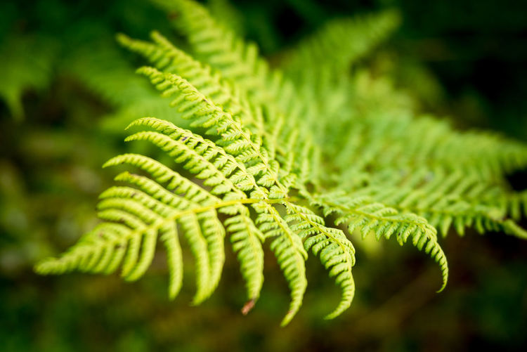 Lady Fern (Athyrium filix-femina) Beauty In Nature Close-up Day Environment Fern Freshness Green Color Growth Lady Fern Leaf Nature No People Outdoors Plant WoodLand