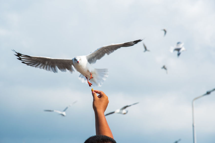 seagulls in action is flying on the sky with cloud,It is hovering food in hands Bird Flying Vertebrate Animal Wildlife Animals In The Wild Spread Wings Sky Seagull Human Body Part Hand One Person Mid-air Human Hand Nature One Animal Day Body Part Finger Outdoors
