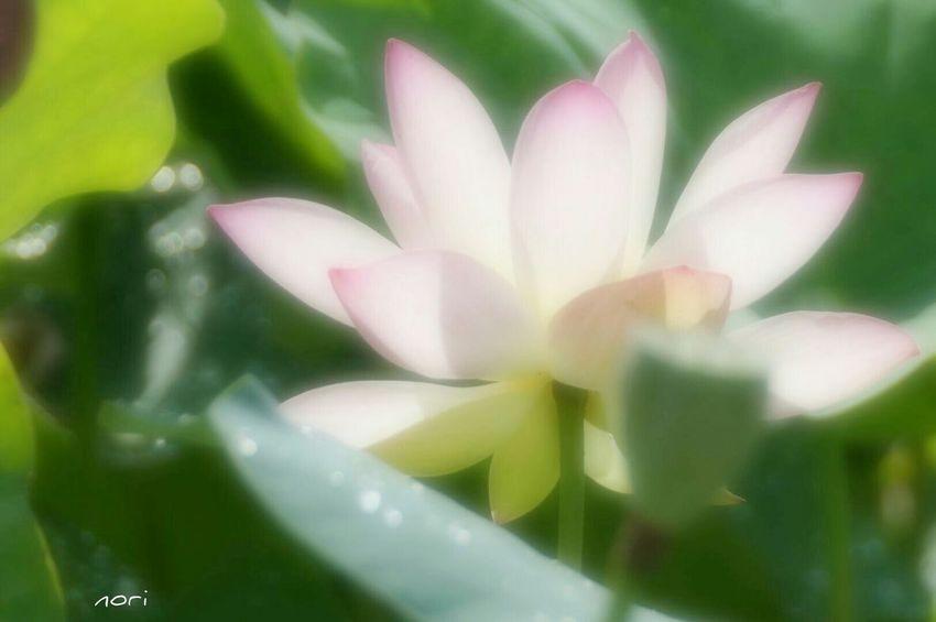 優しい光。~ Gentle light~予報に反して晴れましたので おハッピー\(^o^)/ Lotus Lotus Flower Flower Collection Light And Shadow Soft Focus ボケ味ふぇち 花びらふぇち キラキラ Kagoshima