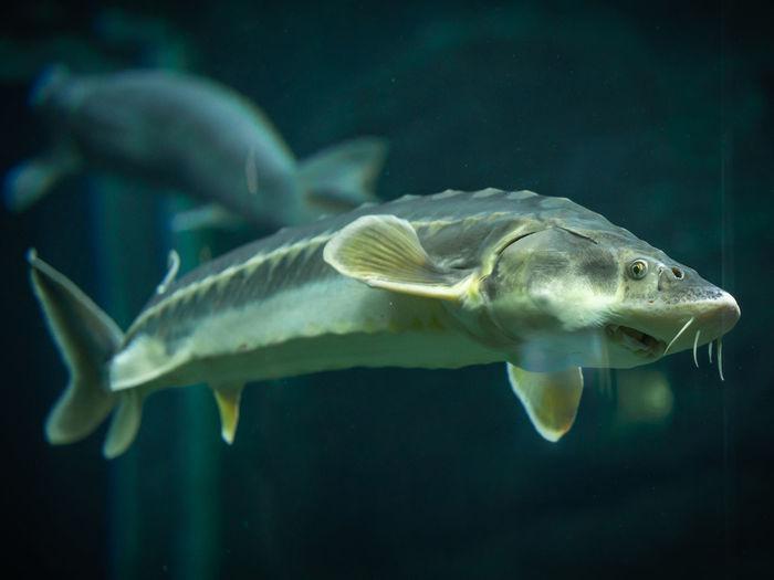 Close up of a sturgeon in aquarium