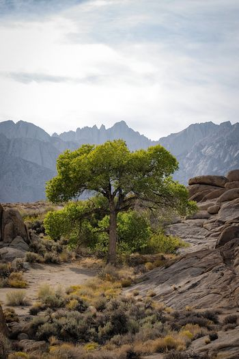 One in a million. It's nice to be back in the Eastern Sierra. Plant Mountain Scenics - Nature Beauty In Nature Sky Tree Nature No People Growth Green Color Land Tranquility Day Non-urban Scene Tranquil Scene Landscape Cloud - Sky Environment Outdoors Mountain Range