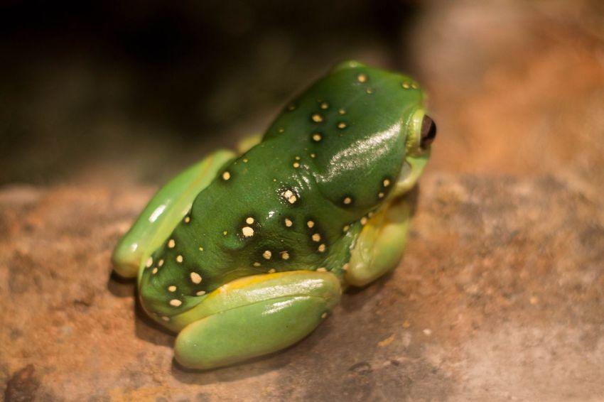 Tree Frog Green Color One Animal Close-up Nature Australia Taking Photos Tree Frog Ballarat  Wildlife Photography Wildlifephotography Ballarat Wildlife Park